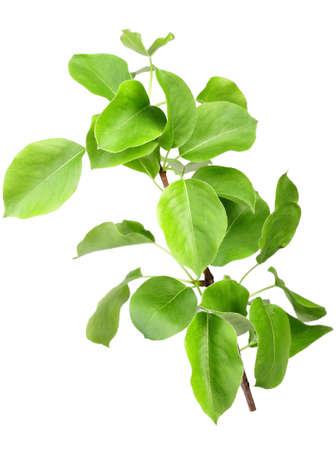 arbol de manzanas: Soltero joven retoño del manzano con las hojas verdes. Aislado sobre fondo blanco. Close-up. Estudio de fotografía.