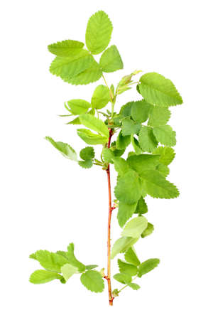 bourgeon: One branch with bud and green leaf of dog-rose  Isolated on white background  Close-up  Studio photography  Stock Photo
