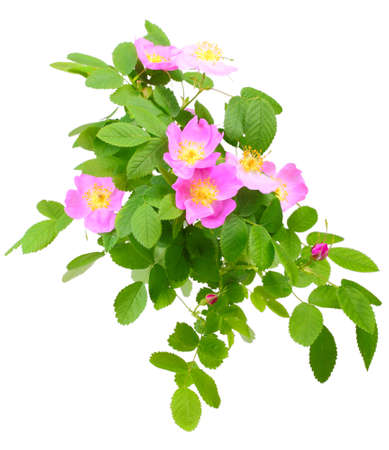 roze: Big branch of dog rose with leaf, flower and bud. Isolated on white background. Close-up. Studio photography.