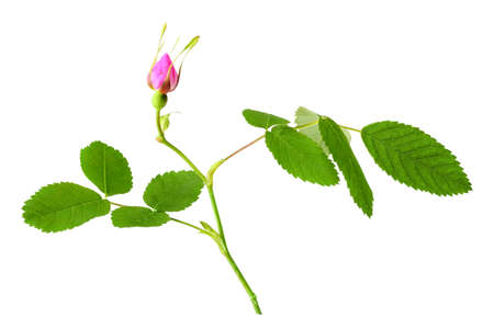 One branch of dog rose with leaf and bud. Isolated on white background. Close-up. Studio photography.  photo