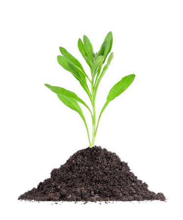 Single fresh green plant in a mound of soil. Isolated on white background. Close-up. Studio photography. photo