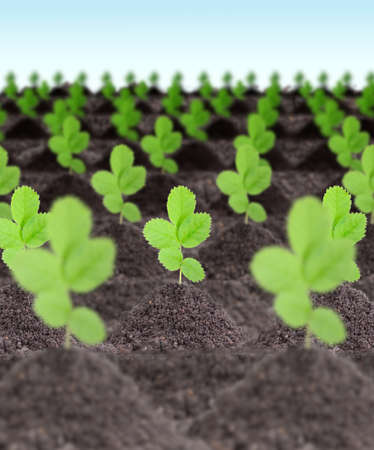 Rows of young green plants in a dirt on sky background. Art design. Close-up. Studio photography. photo