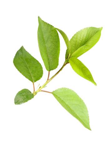 Apple tree: Giovane germoglio verde con foglie di melo. Isolato su sfondo bianco. Close-up. Fotografia di studio.