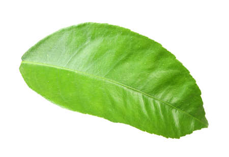 Single green leaf of citrus-tree. Isolated on white background. Close-up. Studio photography. photo