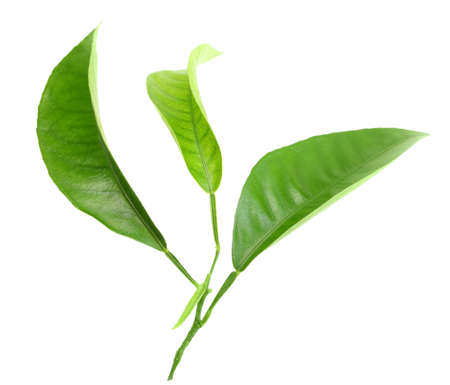tangerine tree: Three green leaf of citrus-tree on branch. Isolated on white background