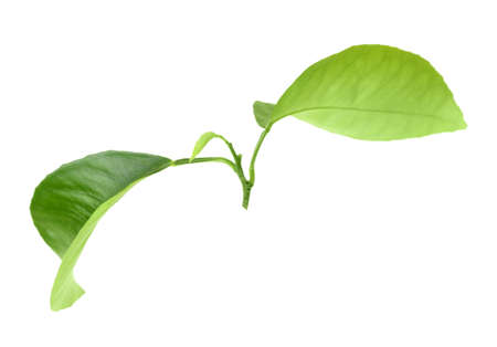 Green leaf of citrus-tree on branch. Isolated on white background. Close-up. Studio photography. photo