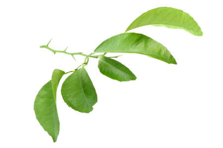 Green leaf of citrus-tree on branch with thorns. Isolated on white background. Close-up. Studio photography. photo