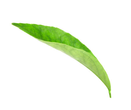 Curving a green leaf of citrus-tree. Isolated on white background. Close-up. Studio photography. photo