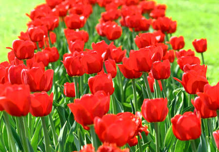 Field with group of red tulips and green leafs on sunlight. photo