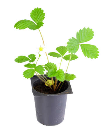 Branch of strawberry with green leaf in flowerpot. Isolated on white background. Close-up. Studio photography. photo