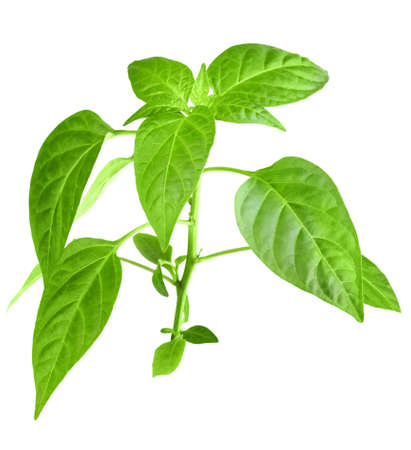 Only young branch of pepper with green leaf  Isolated on white background  Close-up  Studio photography  photo