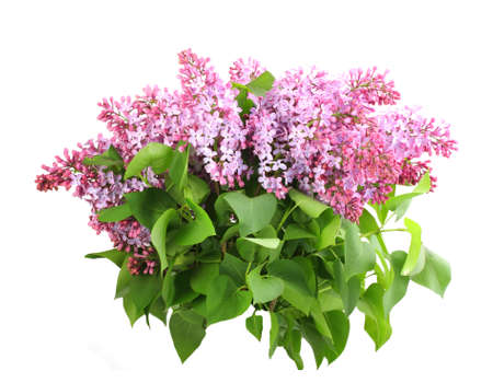 Beautiful bouquet of lilac with purple flowers and green leafes. Isolated on white background. Close-up. Studio photography. photo