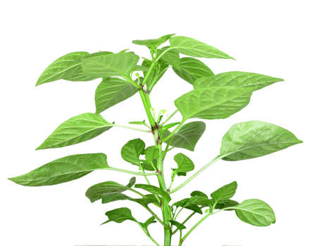 Blossoming  branch of pepper with green leaf. Isolated on white background. Close-up. Studio photography. photo