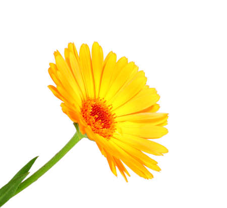 One orange flower of calendula. Isolated on white background. Close-up. Studio photography. photo