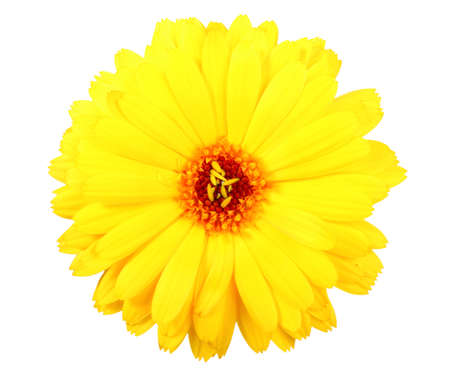 One yellow flower of calendula. Isolated on white background. Close-up. Studio photography. photo