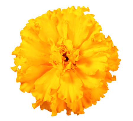 One orange  flower of marigold. Isolated on white background. Close-up. Studio photography. photo