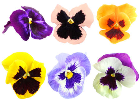 pansies: Set of motley pansy flowers. Isolated on white background. Close-up. Studio photography.