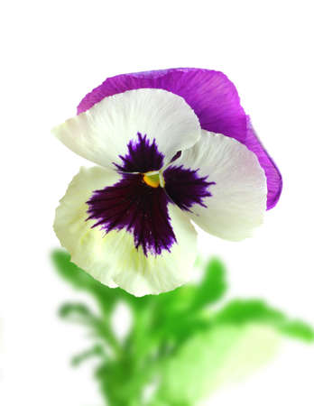 pansies: Single white-purple pansy flower on of-focus green leaf backdrop. Isolated on white background. Close-up. Studio photography.