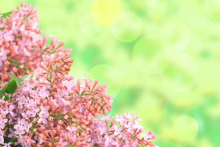 Abstract background with branch of pink lilac on bokeh green backdrop. Close-up. Studio photography. photo