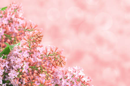 Abstract background with branch of pink lilac on bokeh backdrop. Close-up. Studio photography. photo