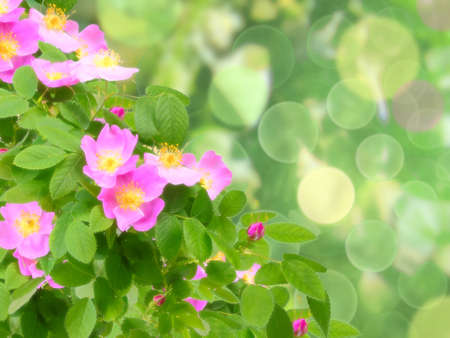 dogroses: Abstract background with soft-light pink dog-roses flowers on green bokeh backdrop. Close-up. Studio photography.