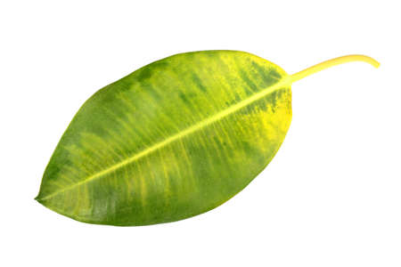pipal: Single yellow-green leaf of pipal.