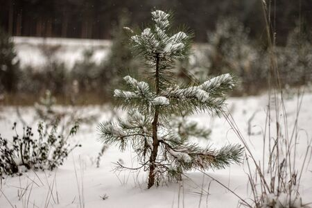 clime: small fir tree covered with snow cold winter day Stock Photo