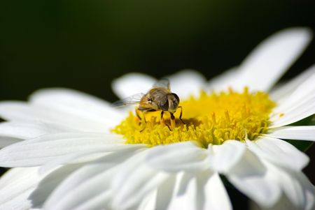 Bee sitting on camomile macro close-up. photo