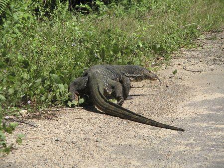 Big varanus on road in Sri Lanka.