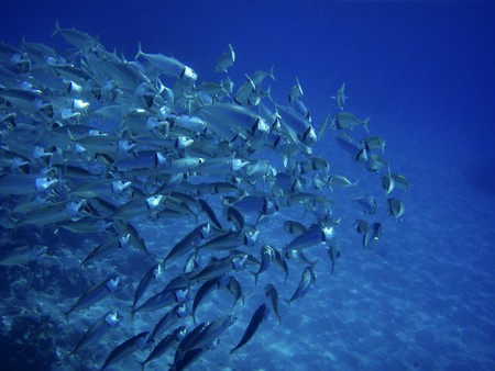 reef fish: Scholling fish near reef in Red Sea, Egypt. Stock Photo