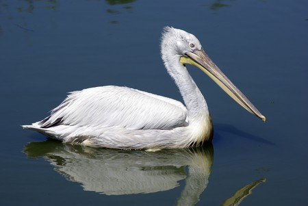 pelecanus: Single pelican is swimming in lake. Zoological garden. Stock Photo