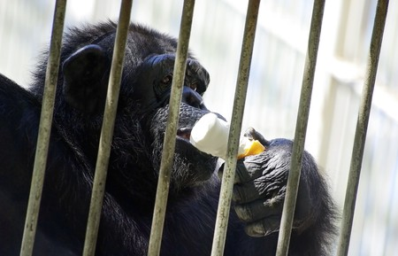 Black young chimpanzee in cage at zoo eating white ice-cream. photo