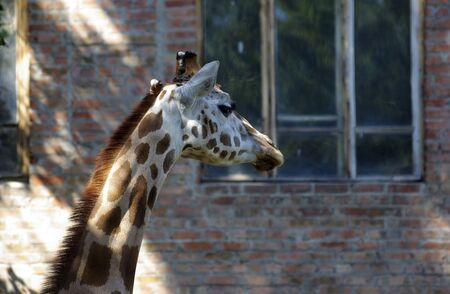 zoo as: Head and neck of giraffe at the zoo. Common building made of bricks as background. Stock Photo
