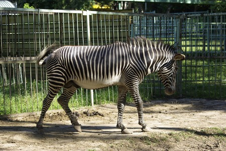 zoological: Zebra walking in zoological garden. Summer holidays.