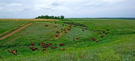 gait: Horses herd in steppe. Animal wildlife landscape. Stock Photo