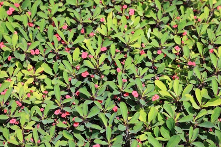 Green bush with pink flowers as textured background or backdrop. photo