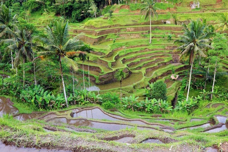 Balinese rice terraces landscape, Indonesia. photo