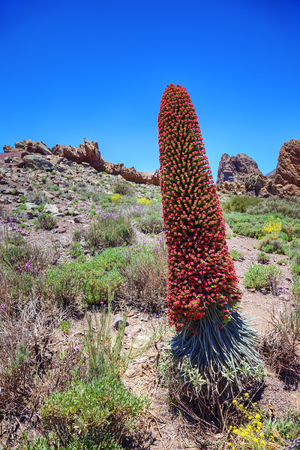 canaries: Tower of jewels Echium wildpretii, endemic flower of the island of Tenerife, Canaries.