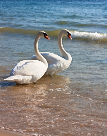 A swan family.Two swans on the beach shore Stock Photo - 8802146