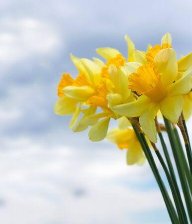 Copyspace と曇り空の前に水仙の花のクローズ アップ