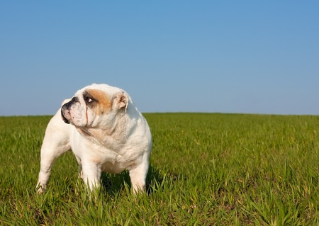 Nice portrait of  male english bulldog standing in the grass photo