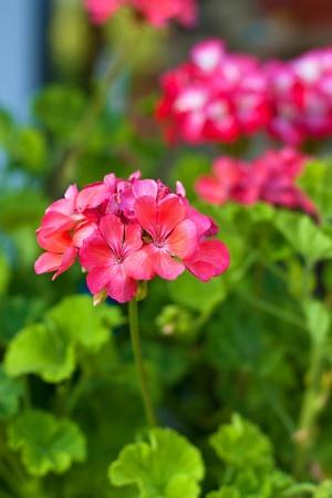 geranium: Pink geranium or pelargonium flower and plant Stock Photo
