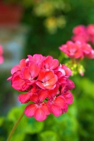 pelargonium: Pink geranium or pelargonium flower and plant Stock Photo