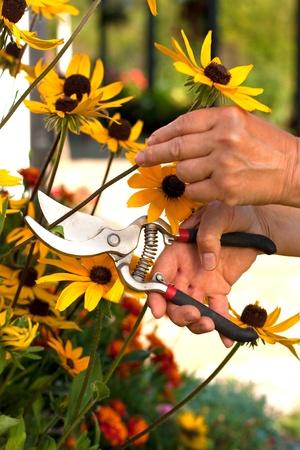 pruning shears: Woman hands cutting a Echinacea flower in the garden with pruning shears