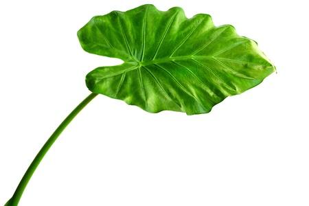 거대한 타로 식물 잎라고도 : Alocasia의 machrorhiza, Dieffenbachia (벙어리 지팡이), 코끼리 귀, Cunjevoi 흰색 배경에 고립