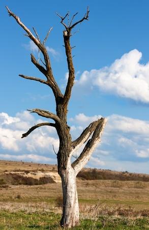 dead tree: Dead dry tree near Varna,Bulgaria Stock Photo