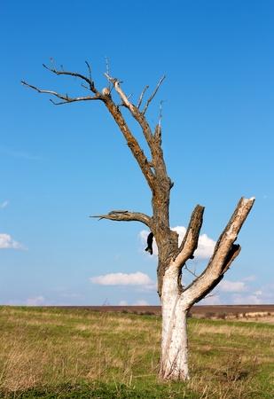 dead wood: Dead dry tree near Varna,Bulgaria Stock Photo