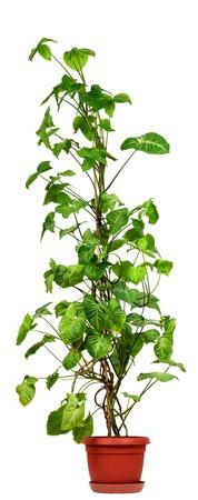 Syngonium podophyllum,Nephthytis or Arrowhead House Plant isolated on white background