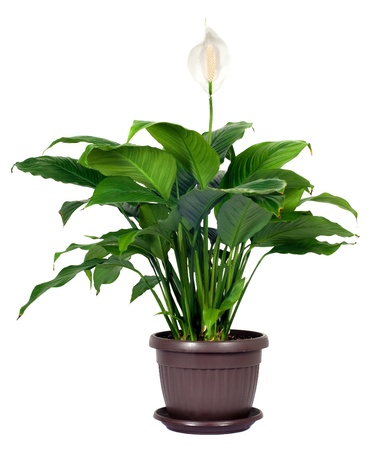 potting: Houseplant - Spathiphyllum floribundum  Peace Lily   White Flower isolated on white background Stock Photo