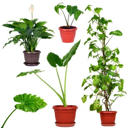 taro: Set of different plants Syngonium podophyllum, Nephthytis, Giant Taro or Alocasia machrorhiza,Houseplant - Spathiphyllum floribundum  Peace Lily  Stock Photo